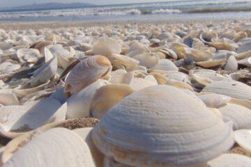 clam harvesting